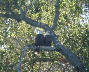 Bald Eagle pair on Cachuma Lake (Mark Holmgren)