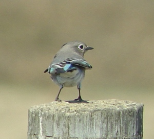 Mountain Bluebird on Armour Ranch Road (Wes Fritz)