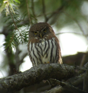Northern Pygmy-Owl near Ranger Peak (Mark Holmgren)