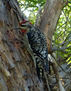 Red-naped Sapsucker at Lone Star Ranch (Wim van Dam)