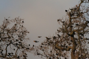 Yellow-headed Blackbirds at Sedgwick Ranch in 2010