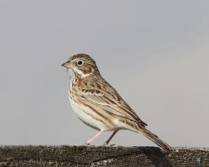 Vesper Sparrow (Matt Victoria)